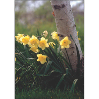 Daffodils II