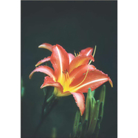 Red Summer Lily