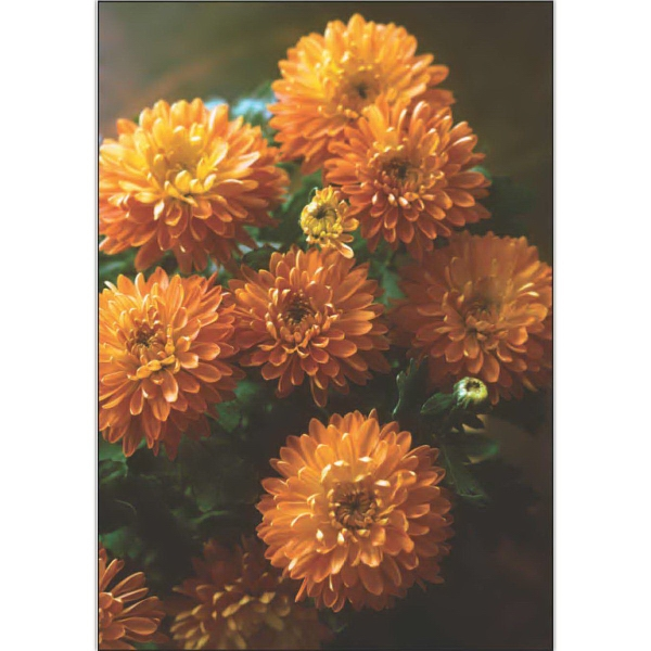 Item #63303 Fall Mums