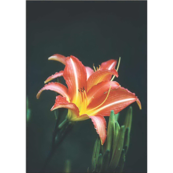 Item #67434 Red Summer Lily
